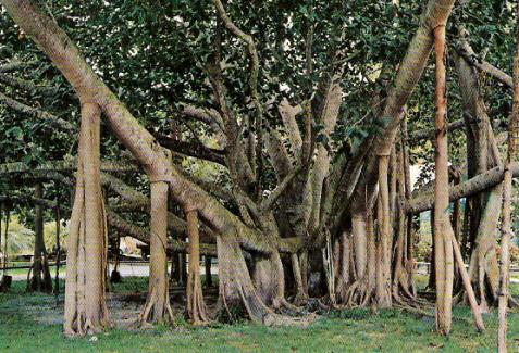 Banyon tree_maui-treasures.com