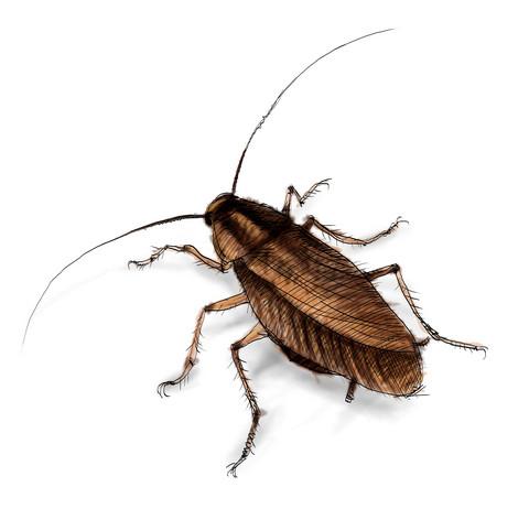 Cockroach_9Nov17